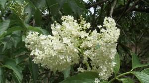 fleur-de-sureau2
