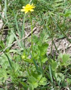 renoncule-jaune