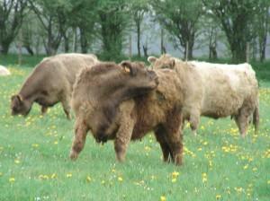attaque vautour vache