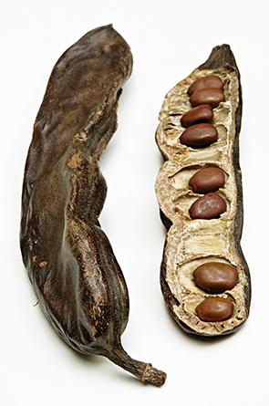 ceratonia caroubier BOOK Sm