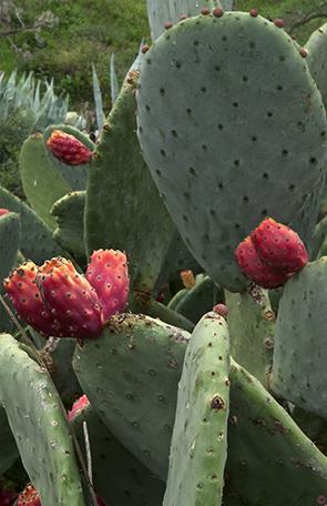 opuntia ficus indica rouge